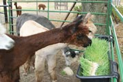 Alpaca on a fodder diet are more productive