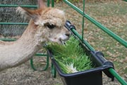 Fodder is beneficial to the sensitive digestive system of alpaca